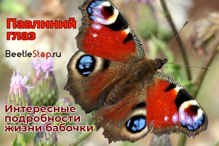 Бабочка павлиний глаз доклад сообщение (описание для детей)