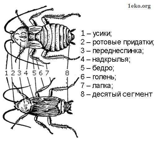Строение таракана – сколько у него ног, общее описание и характеристика