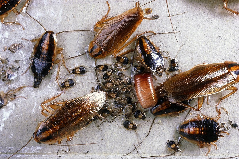 Сколько таракан может прожить без головы?
