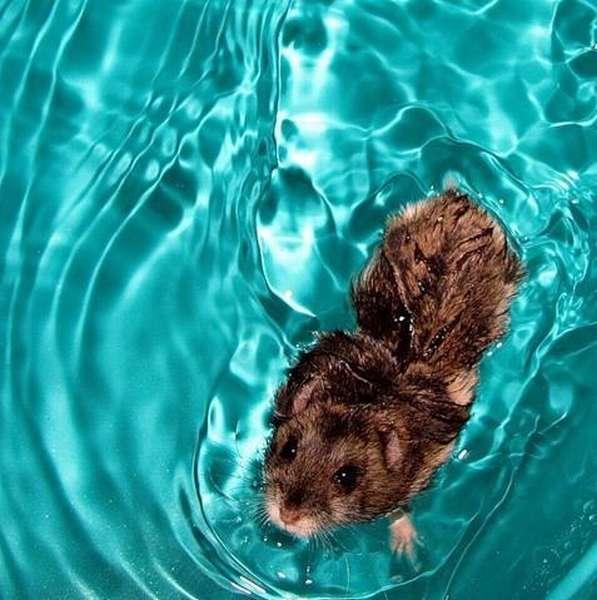 Купание декоративных крыс - ответы и советы на твои вопросы