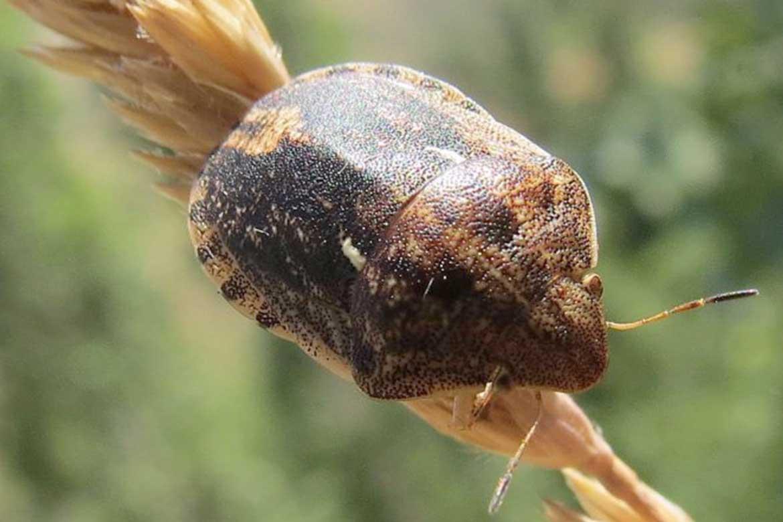 Клоп вредная черепашка в пшенице, меры борьбы - как ставить ловушки