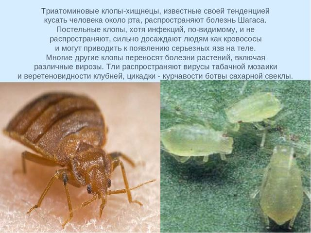 Опасны ли для человека укусы постельных клопов - oklope