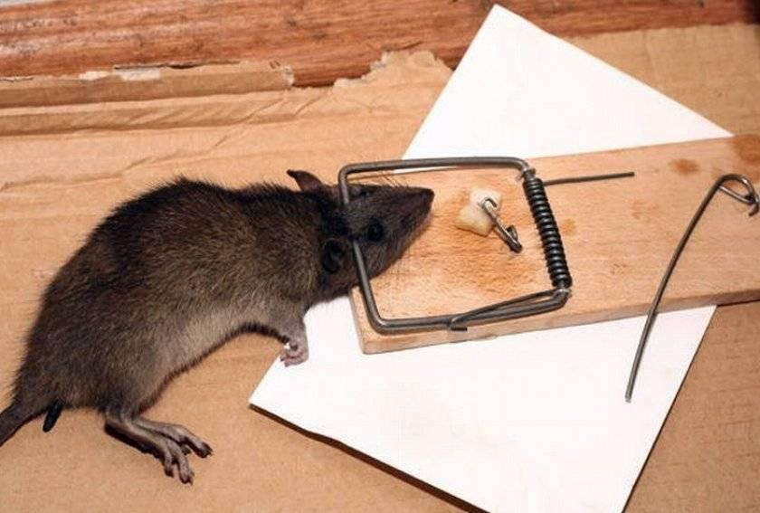 Как я избавился от мышей в доме из бруса: личный опыт и инструкция по выведению мышей