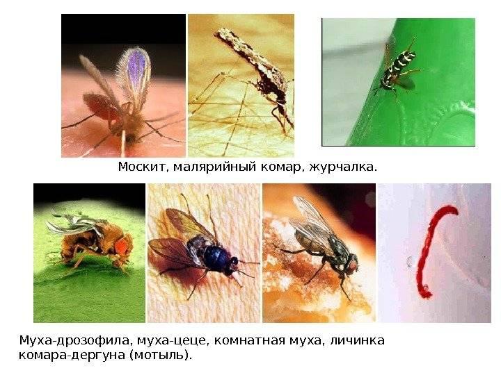 Сколько живут обыкновенные комары, срок жизни в целом и после укуса человека