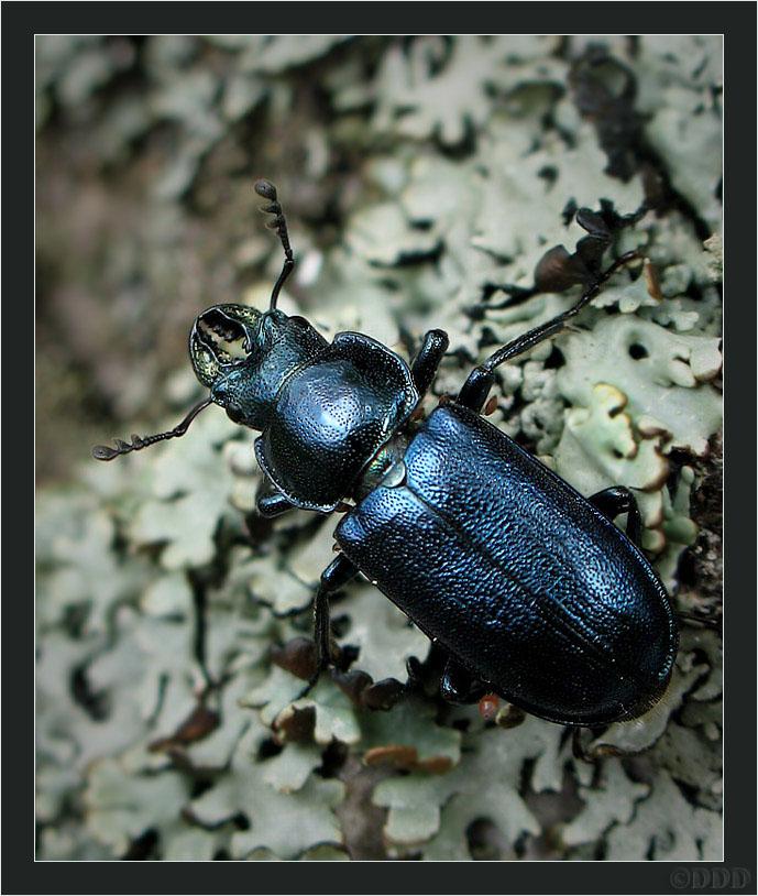 Жук-рогач - 100 фото и видео описание популярного насекомого