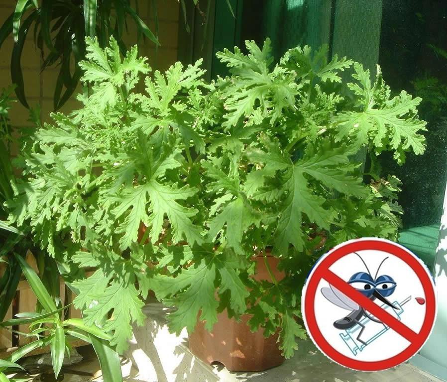 Растения отпугивающие мух и других насекомых