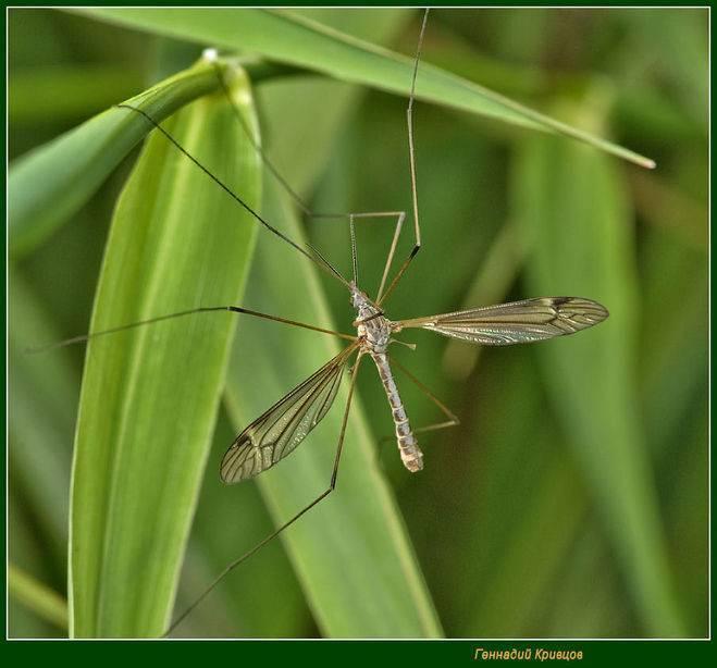 Чем большой комар отличается от маленького: отличия и особенности