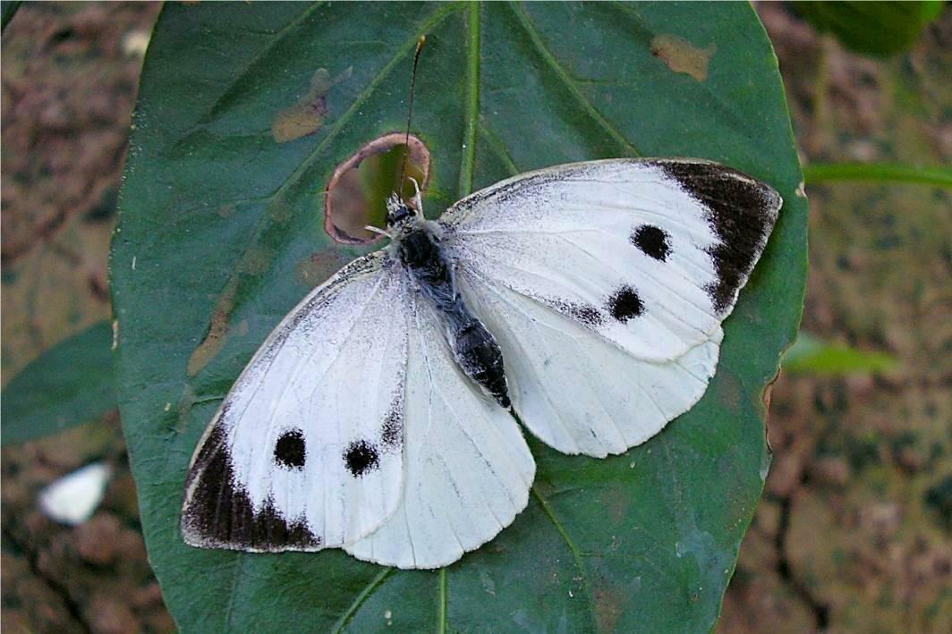 Бабочка капустница – портрет опасного вредителя