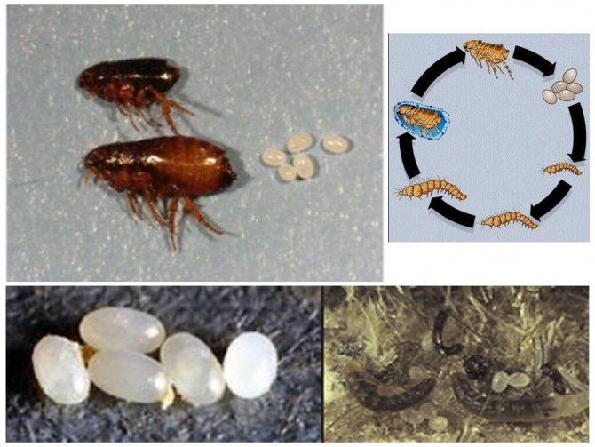 Общие сведения о блохах: продолжительность жизни, размножение, среда обитания, питание