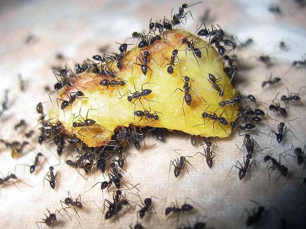 Как быстро вывести мелких муравьев из квартиры: растения репелленты, гели, аэрозоли и ловушки