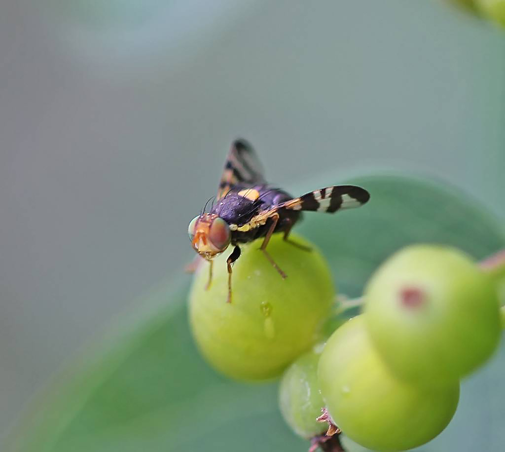 Сроки обработки и правила борьбы с вишневой мухой