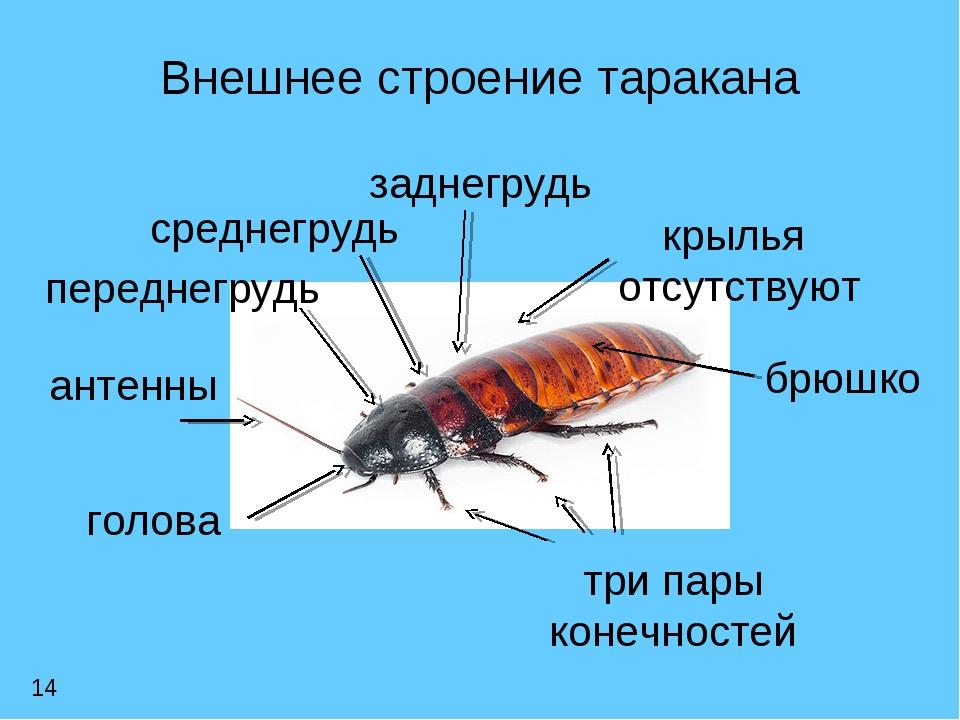 Строение таракана