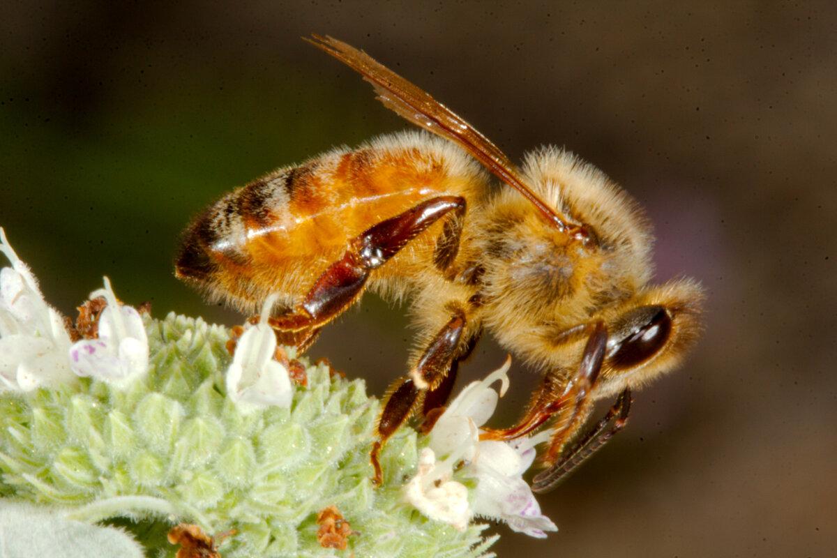 Медоносная пчела: виды и особенности ухода и развития
