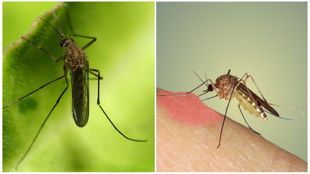 Глобальное потепление грозит исландии появлением комаров