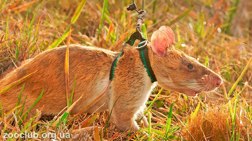 Гамбийская хомяковая (сумчатая) крыса: описание и aреал обитания