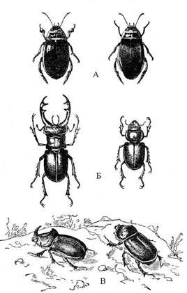 Жук майка фиолетовая: образ жизни травоядных имаго и паразитирующих личинок