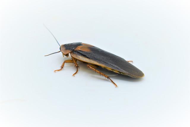 Уход и содержание мадагаскарского шипящего таракана в домашних условиях