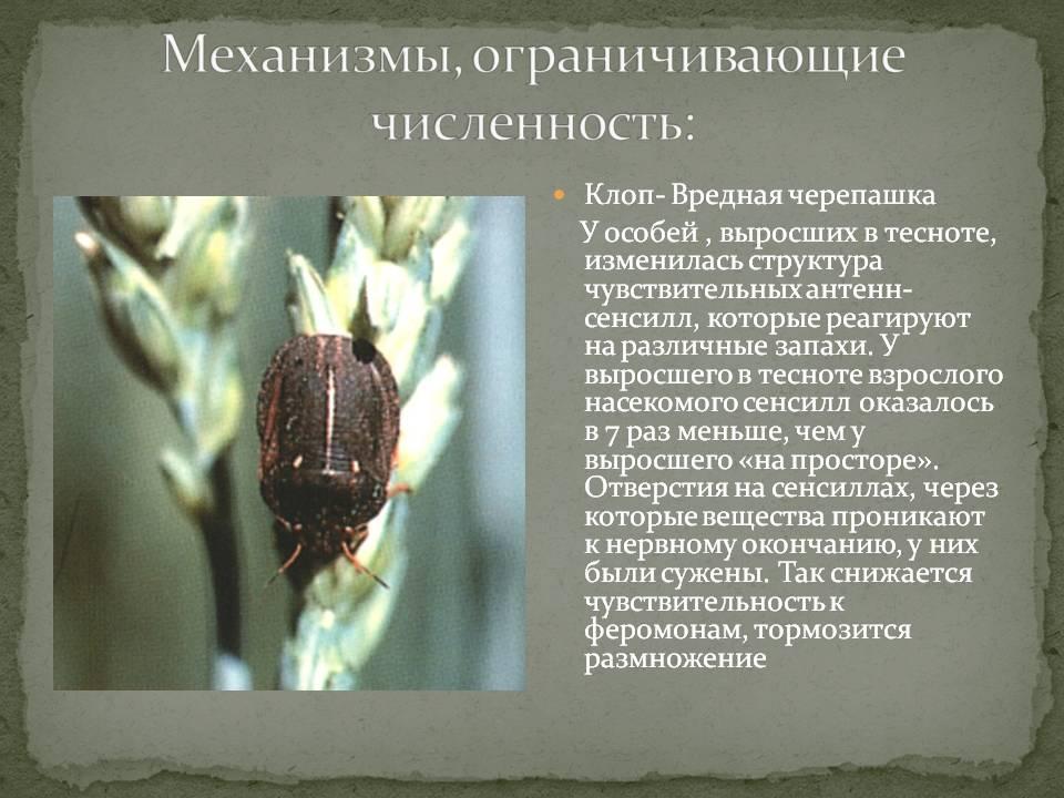 Клоп черепашка (фото): описание, меры борьбы