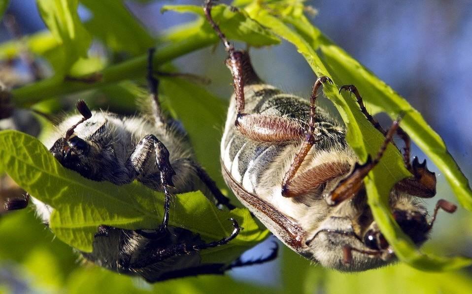 Как избавиться от майского жука (хруща) - 3 способа + 15 препаратов