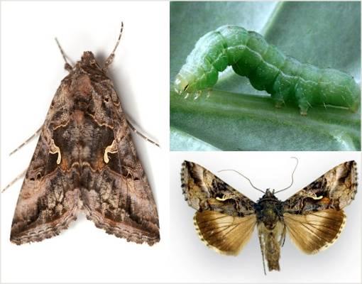 Бабочка совка: описание, меры борьбы, как избавиться от вредителя