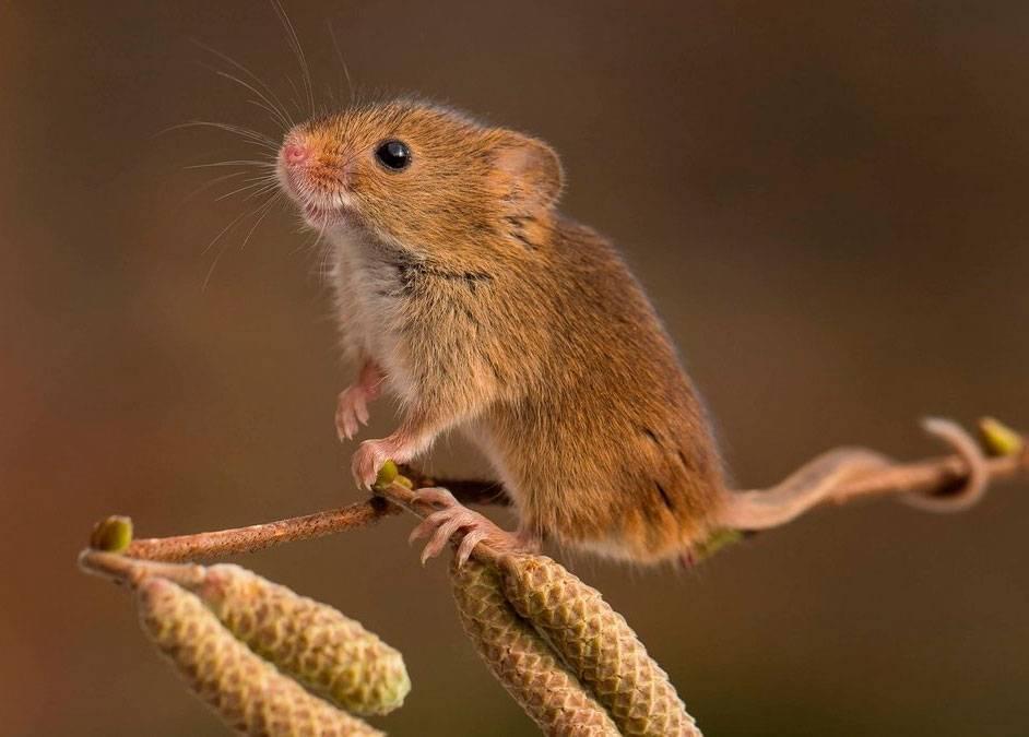 Полевая мышь   мир животных и растений