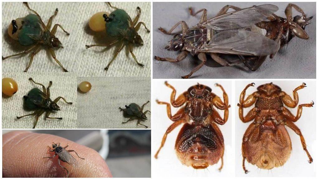 Лосиная вошь, или муха: чем опасна, способы борьбы — насекомые вредители