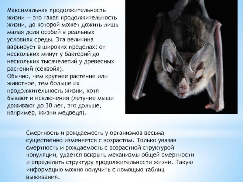 Сколько лет живут крысы и от чего это зависит?