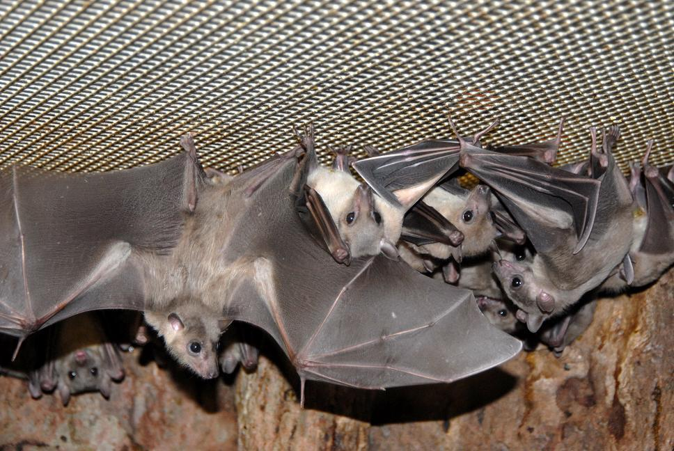 Как избавиться от летучих мышей в доме навсегда