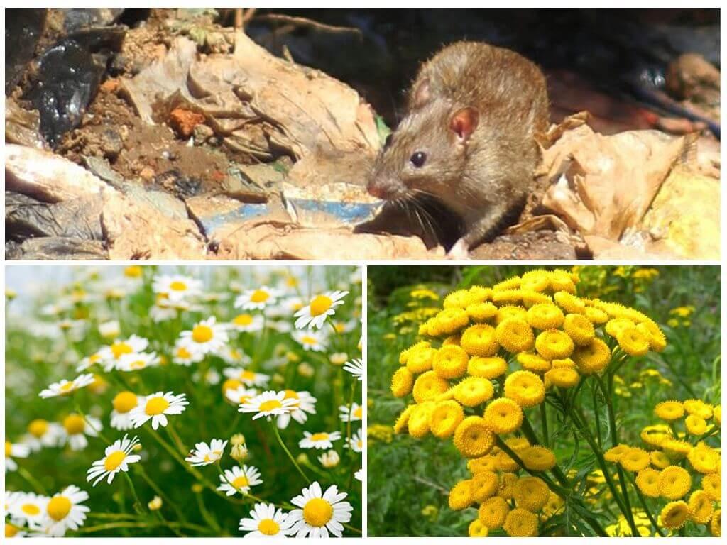 Трава от мышей в доме: какую не любят мыши больше всего
