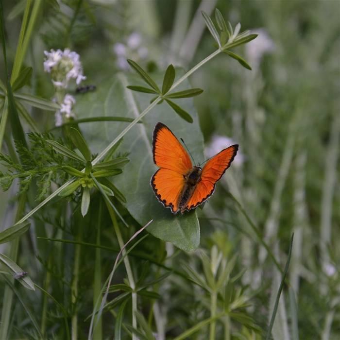 Бабочка галатея: фото, образ жизни и этапы развития палеарктического вида