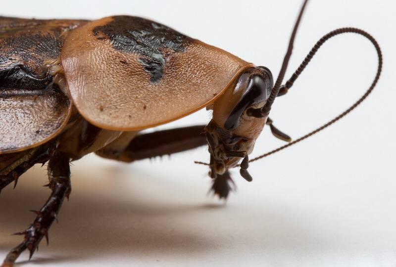 Рыжий таракан прусак: особенности строения и поведения