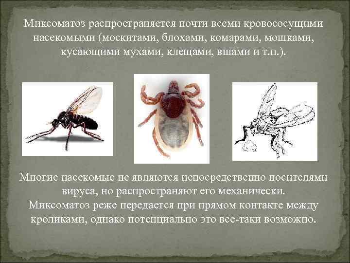 Москиты - это кровососущие насекомые. описание и места распространения москитов