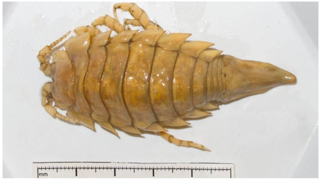 Морской таракан - фото и описание