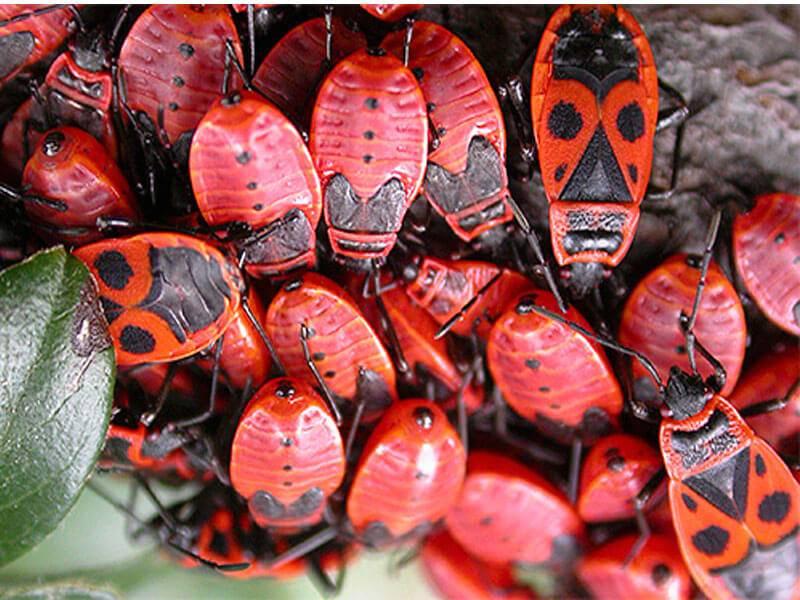 Клоп-солдатик: описание насекомого и как от него избавиться