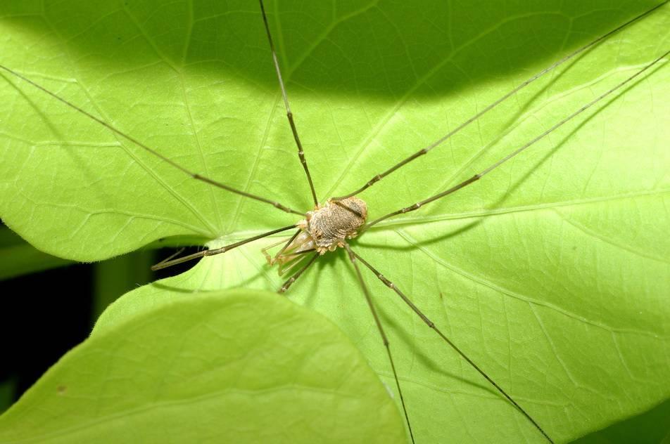 Паук-оса – ядовитое насекомое с яркой внешностью