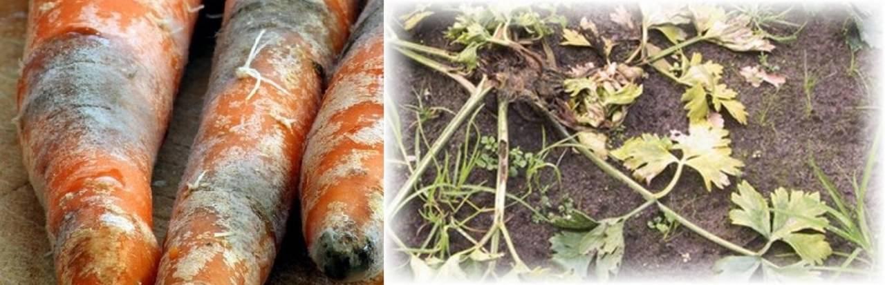Болезни моркови - описание с фото и способами лечения