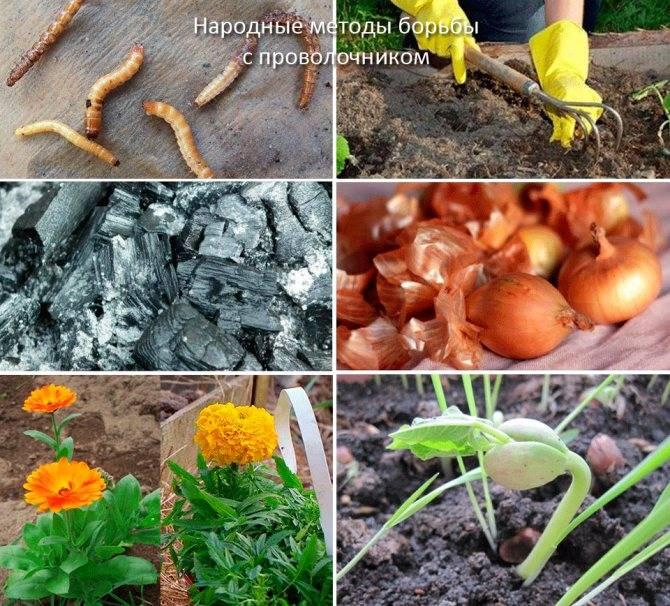 Как вывести проволочника с картофельного поля?