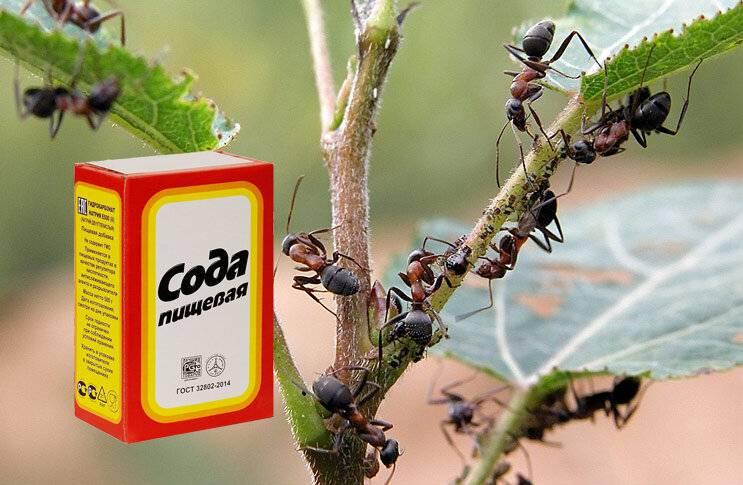 Сода против муравьев - как ее использовать и насколько она эффективна