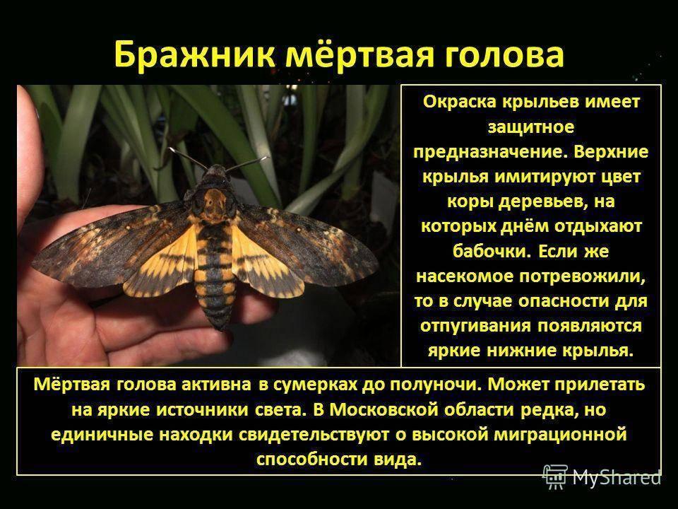 Бабочка мертвая голова | мир животных и растений
