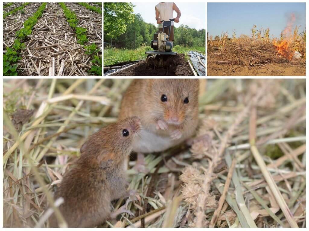 Подземная полевка: фото и описание мыши-вредителя, изучаем бразильских, темных, узко и плоскочерепных полевых грызунов русский фермер