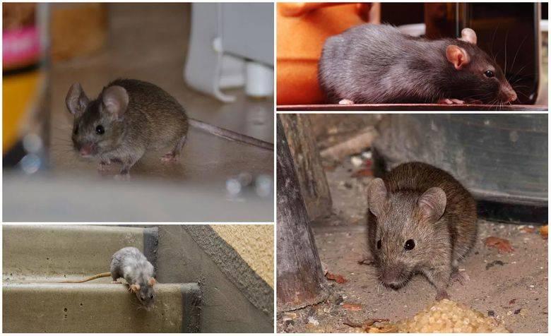 Дератизация - определение, как избавиться от крыс и мышей