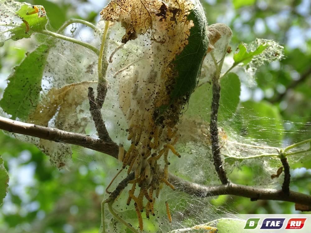 Яблонная моль: описание и вред от насекомого