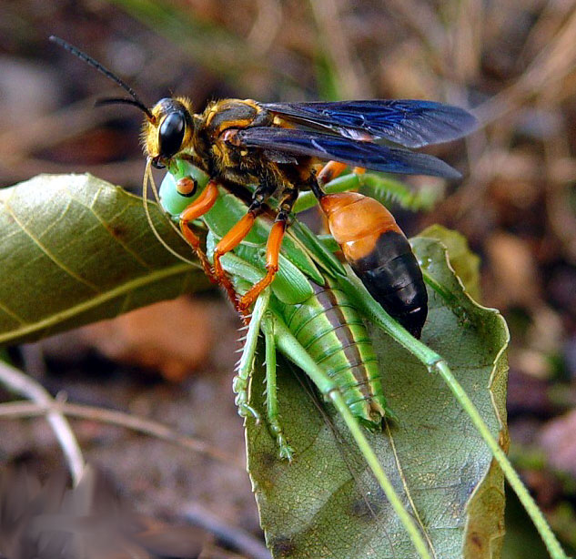 Наездник насекомое. описание, особенности, виды, образ жизни и среда обитания наездника | живность.ру