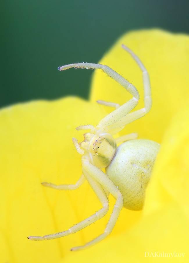 Паук бокоход желтый: где обитает, чем питается, опасен ли для человека?