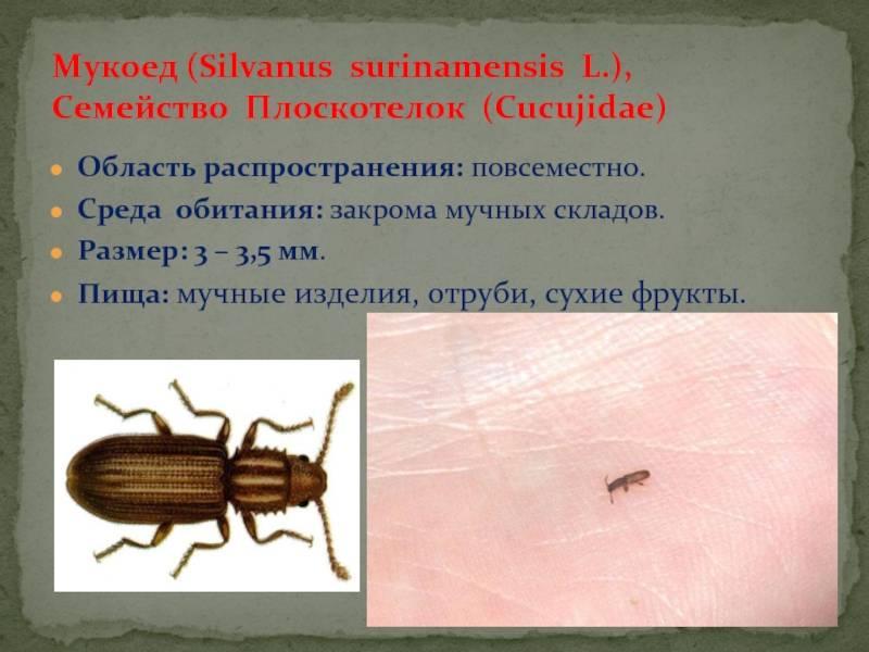 Жучки в муке и крупах: как избавиться от надоедливых насекомых на кухне / vantazer.ru – информационный портал о ремонте, отделке и обустройстве ванных комнат