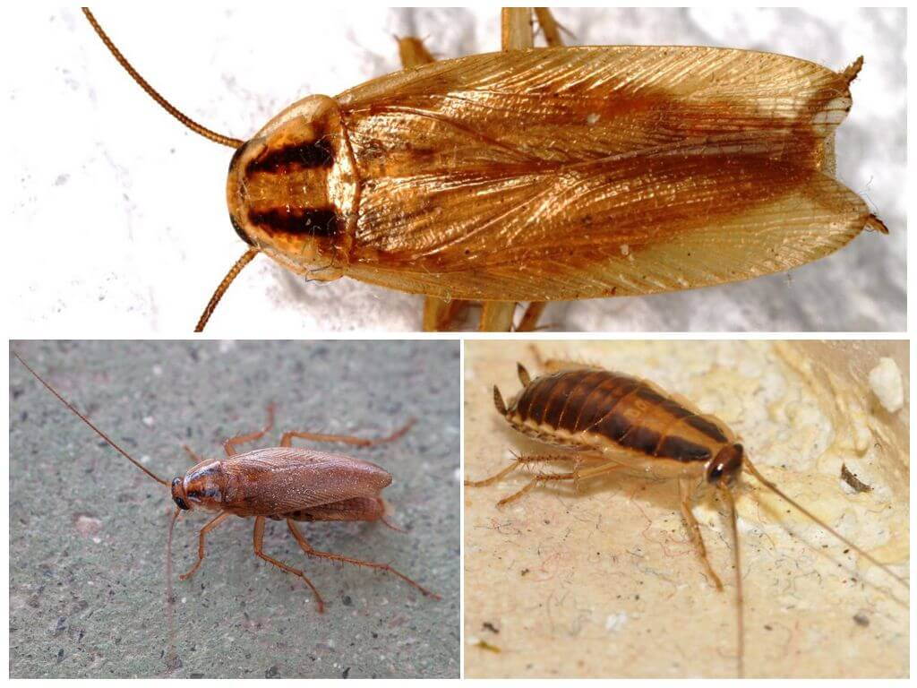 Как избавиться от прусаков (рыжих тараканов) в квартире: чем еффективно травить, откуда появились прусаки, описание
