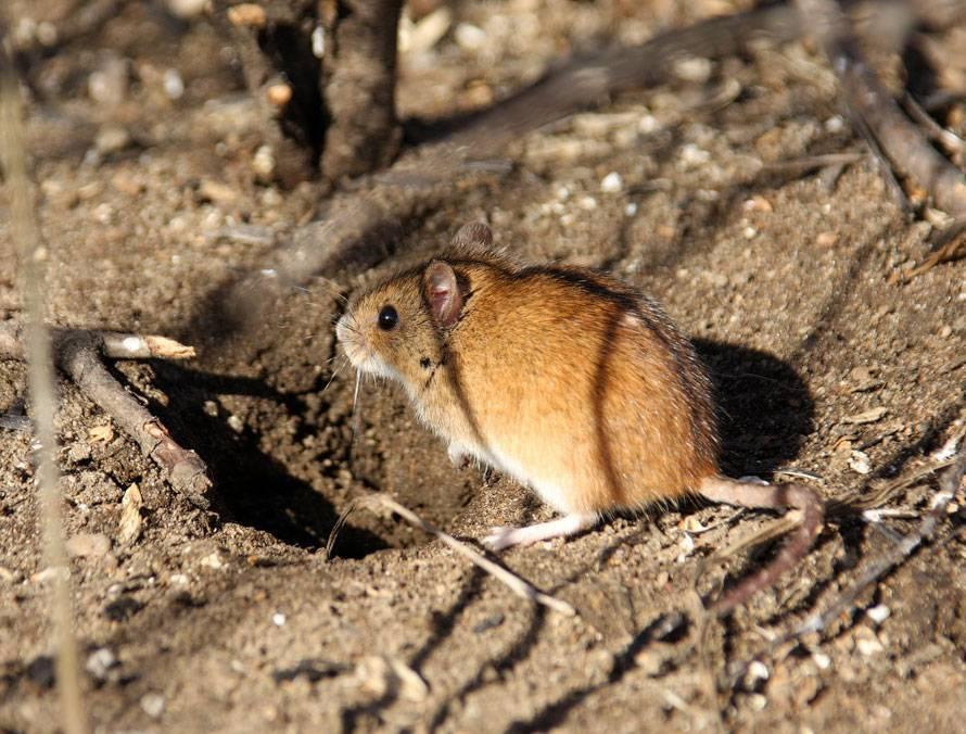 Мышь полевка: питание и размножение вредителя