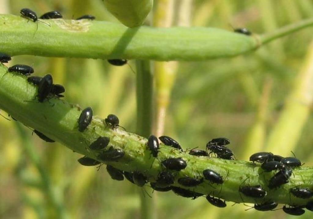 Как бороться с рапсовым листоедом: описание и вред насекомого