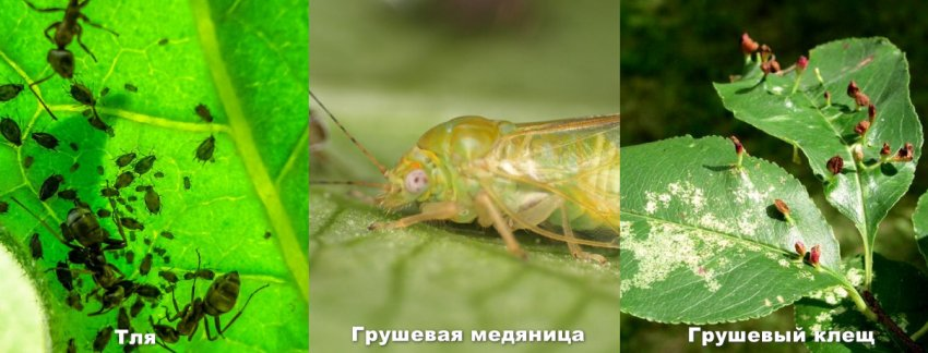 Медяница