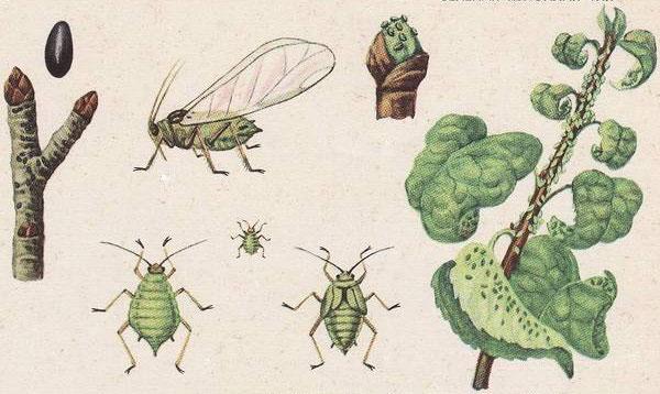 Яблонная тля: зеленая и серая, как бороться, чтобы избавиться от данного насекомого, а также советы по поводу того, чем обработать дерево, классификация средств selo.guru — интернет портал о сельском хозяйстве